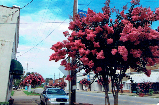 Crepe Myrtles on Main Street